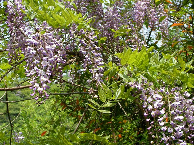 天ヶ瀬の藤花④
