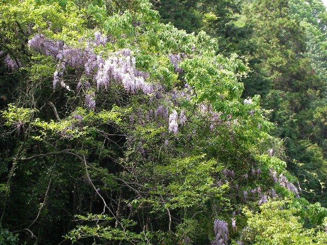 炭山の藤の花