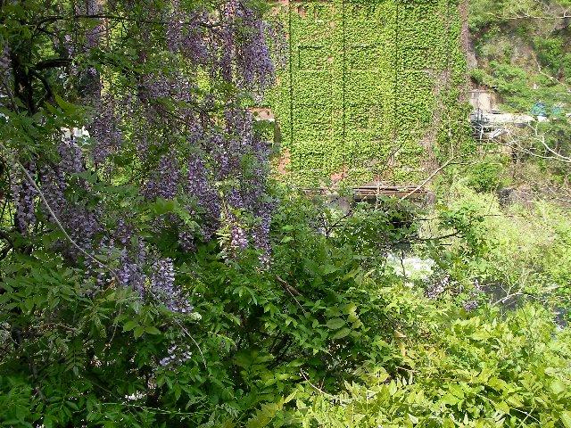 藤の花と宇治川