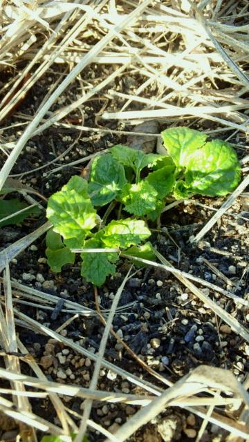 201201菜花