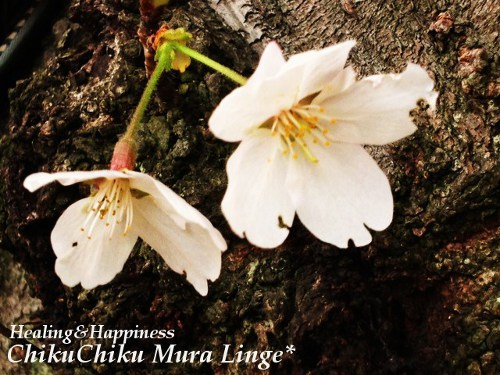 桜祭り16★