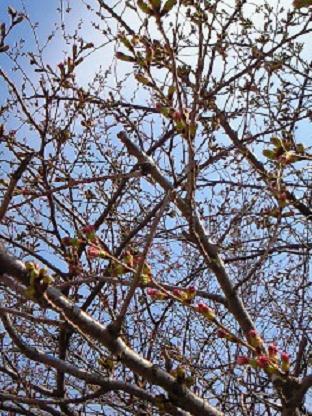 桜・4・2 001