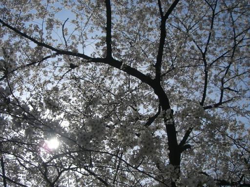 桜4・7 031