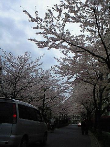 母校の桜4・10 001