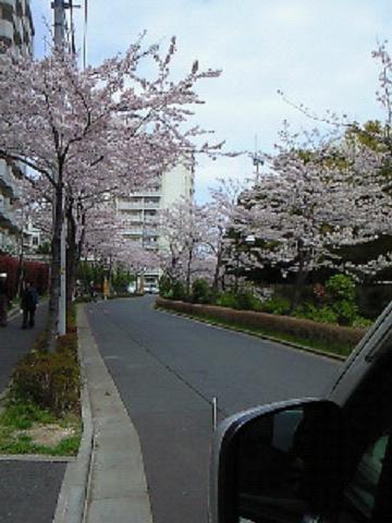 母校の桜4・10 002