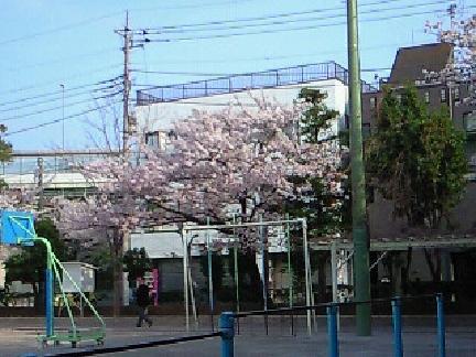 母校の桜4・10 003