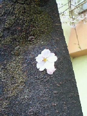 母校の桜4・10 004