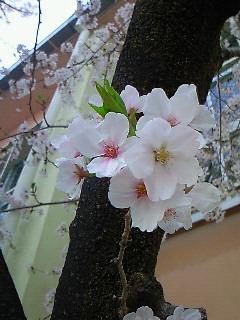 母校の桜4・10 005