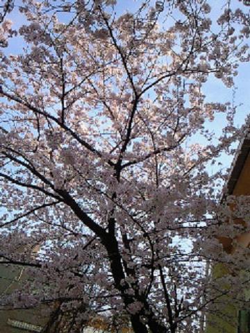 母校の桜4・10 006