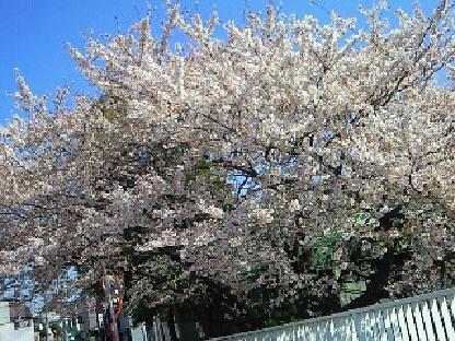 土手桜4・13 012