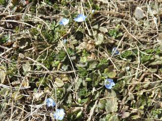 日向の青い花