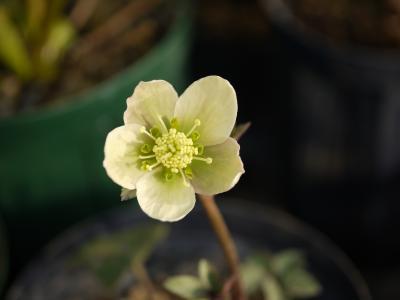 niger × lividus(斑) 013-001