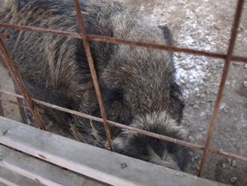 12猪・桃太郎