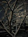 積雪(桜ver)