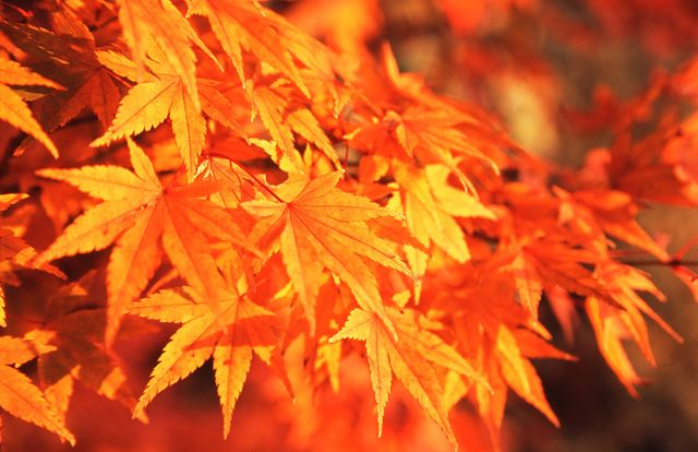 夕陽の紅葉