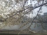小24.4.10桜