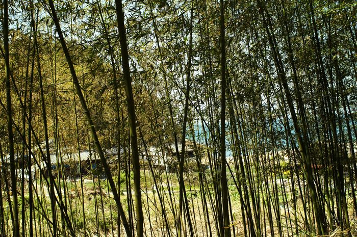 京の浜竹薮