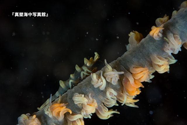 03-4★ビシャモンエビ1-12