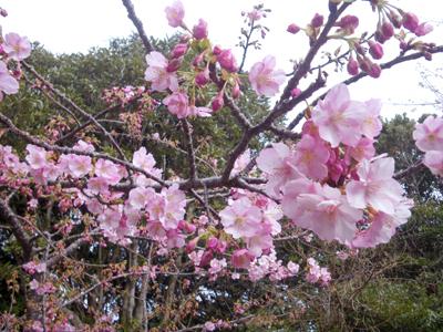 0-sakura1x_20110211130501.jpg