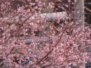 この木だけ咲いています