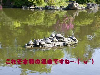 鶴舞公園カメの甲羅干し