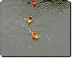MILLIONS OF DEAD FISH IN CHESAPEAKE BAY