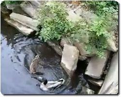 A Duck Is Stuck Under A Rock!!!