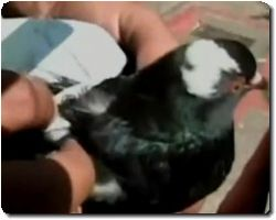Drugs smuggling pigeon caught in Colombia