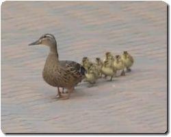 duck_20101204145142.jpg