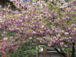 八重桜300