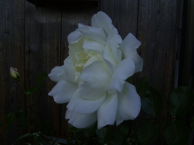 魔性のバラ ~ネージュ・パルファン5