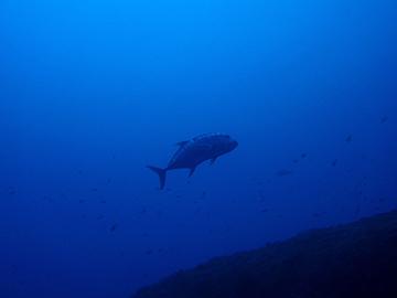 宮古島 サメの根 ロウニンアジ