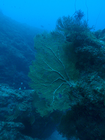 宮古島 サメの根 ウミウチワ