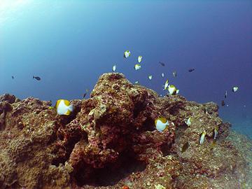 宮古島 津波石ドロップ カスミチョウチョウウオの大群