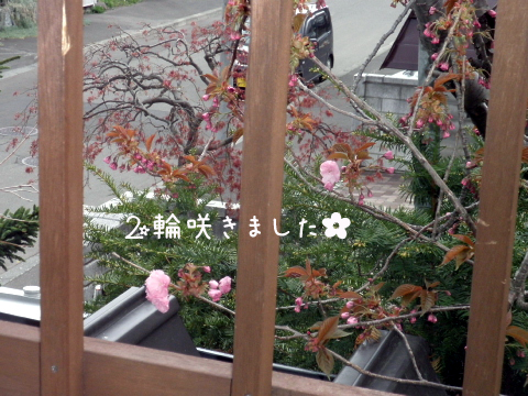 sakura_20110519183302.jpg