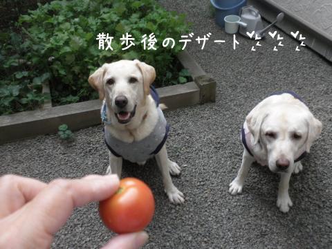 tomato_20110909224755.jpg