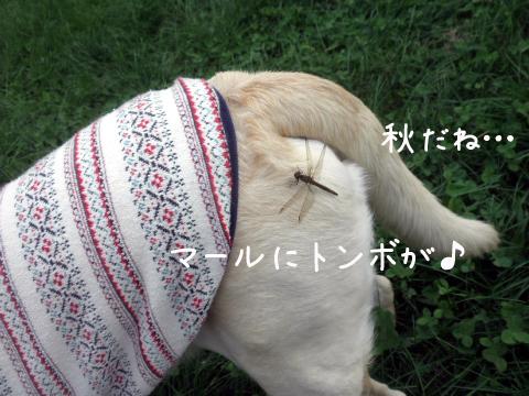 tonbo_20110923224750.jpg