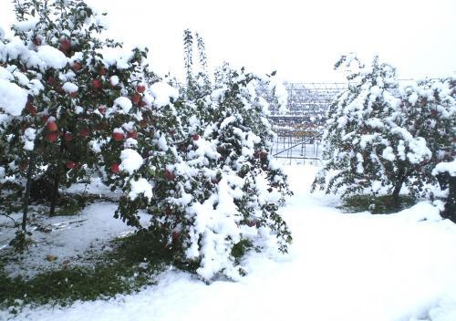 うちのリンゴ畑積雪10センチ(25.11.13)