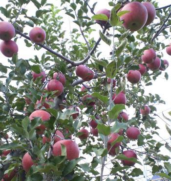 収穫を待つ(25.11.22)