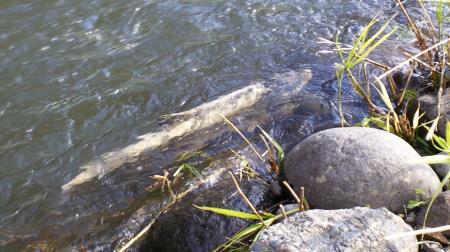 川を遡上するサケ(25.11.23)