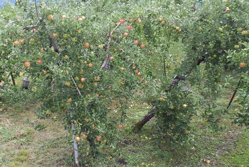 色づき始めたリンゴ(25.8.21)