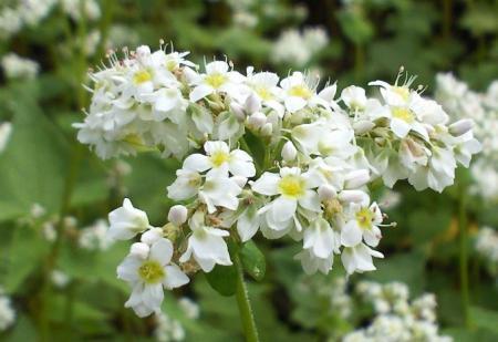 ソバの花(25.9.15)