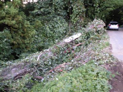 町道際の大木が倒れる(25.9.17)