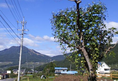 ヘブンリーブルーの樹(25.10.10)