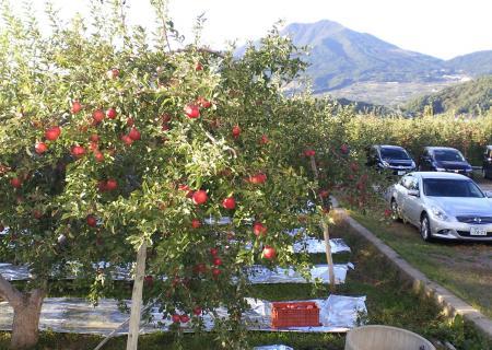 リンゴ畑と高社山(25.10.17)