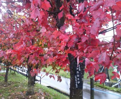アカカエデの紅葉(25.10.20)