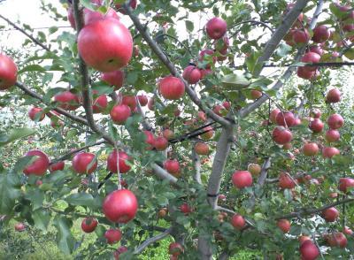シナノスイート収穫直前(25.10.21)
