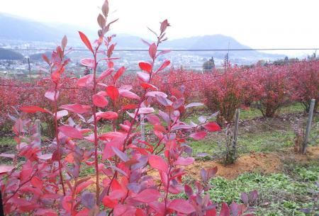 ブルーベリー畑の紅葉(25.11.4)