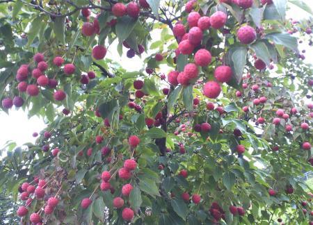 ヤマボウシの木(25.11.4)