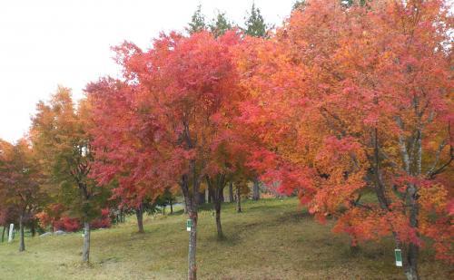 楓のオーナー木(25.11.4)